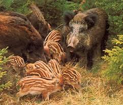 Vadkárelhárító vadászat Somogy megye