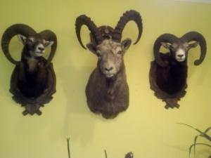 Kőszáli kecske nyak preparátum trófea