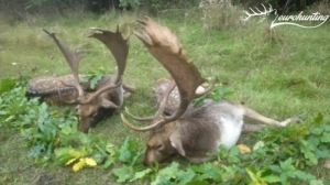 Dámbika vadászat