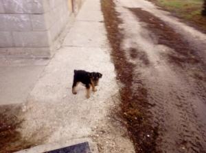 Welsh terrier kiskutya