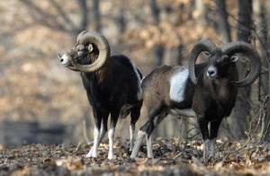 Őzbak,gímszarvas,muflon vadászati lehetőség