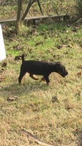 Jagd terrier