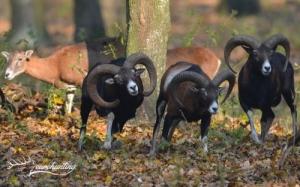 Kedvezményes muflonkos vadászat vadaskertben
