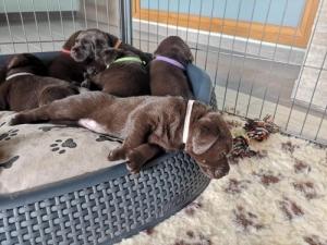 Barna labrador retriever kiskutyák