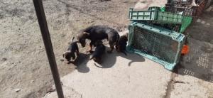 kölyök vadász kutyák