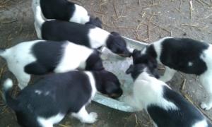 Foxterrier kiskutyák, bajor hegyi véreb,  foxterrier tenyészpár