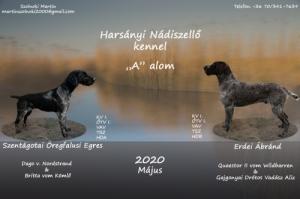 Törzskönyvezett Drótszőrű Német Vizsla Kölykök!
