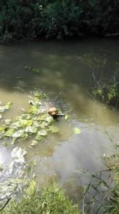 drótszőrü magyar vizsla kan