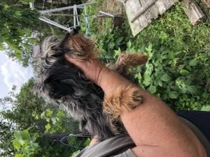Jagd Terrier szuka