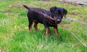 Jagd terrier kan kutyus eladó