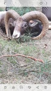 Muflon kos vadászat vadaskertben