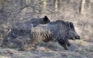 Két napos vaddisznóhajtás Csehországban
