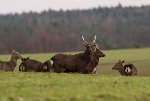 Szikaszarvas és muflonvadászat csehországban