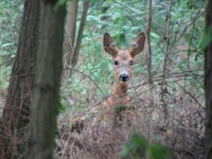 Őz tar vad vadászati lehetőség!
