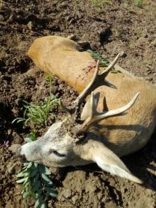 Őzbak vadászati lehetőség!!!