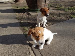 Eladó Jack Russel Terrier kiskutyák
