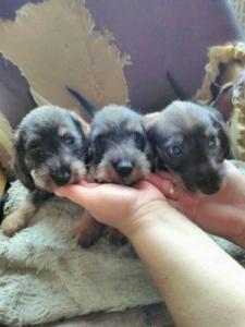 Szálkás szőrű tacskó kiskutyák