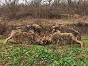 Farkasvadászat Szerbiában