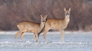 Őz tarvad vadászat