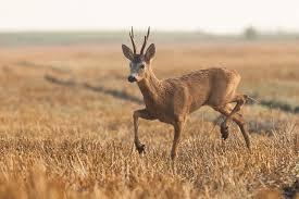 Őzbak vadászat Budapest közelében.